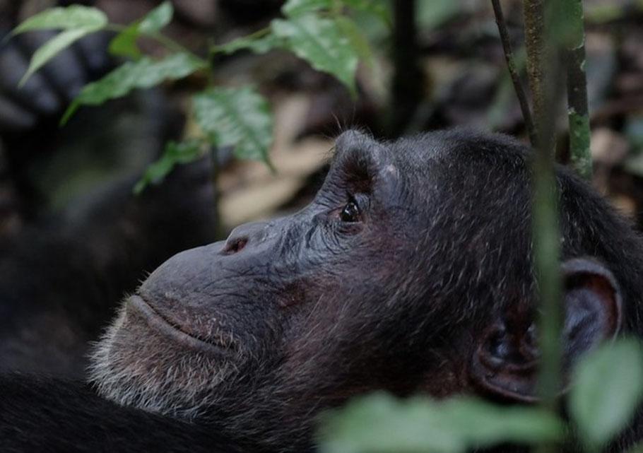 Chimpanzee-in-Budongo-forest.jpg