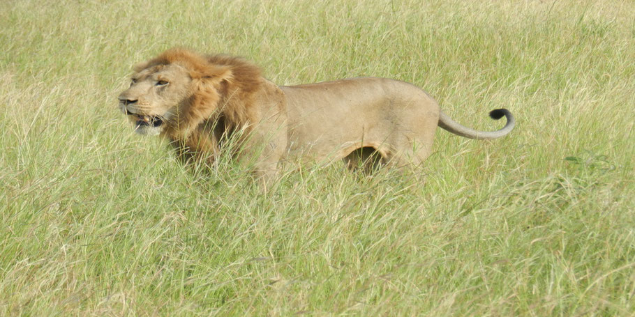 Lion-research-tracking-at-queen-elizabeth-national-park.jpg