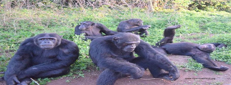 Ngamba-Island-Chimpanzee-Sanctuary.jpg