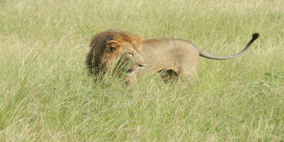 Lion-Kidepo-Valley-National-Park.jpg