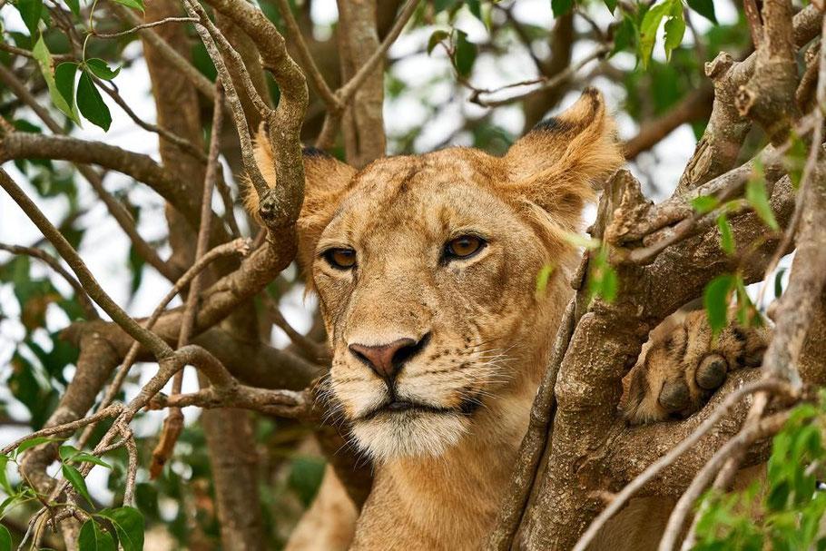 Uganda -tree-climbing-lions.pjg