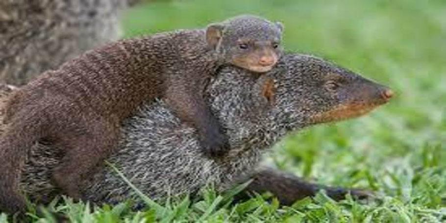 Banded-Mongoose-tracking-in-queen-Elizabeth-national-park.jpg