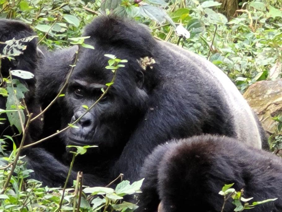 Bwindi -Forest -Impenetrable-National-Park-Gorilla.jpg
