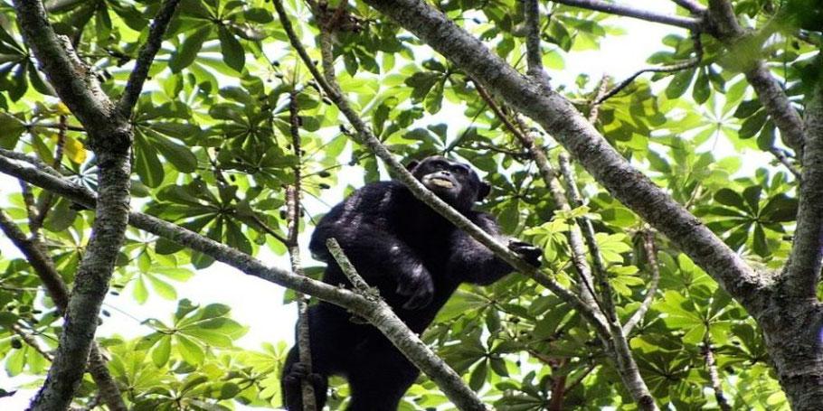 Kalinzu-Forest-Resrves-chimpanzees.jpg