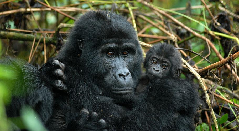 Uganda's-Mountain-Gorilla.jpg