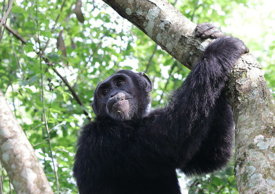 chimpanzee-habituation-kibale.jpg