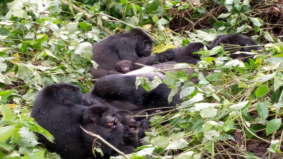 gorilla-tracking-uganda.jpg