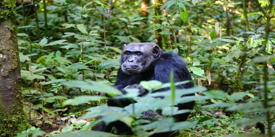 chimpanzee-habituation-in-Uganda.jpg