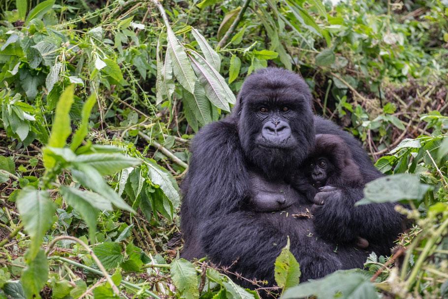 mountain-gorilla-volcanoes-national-park-rwanda.jpg