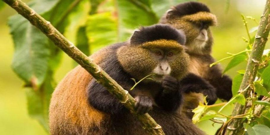 Mgahinga-gorilla-national-park-golden-monkey.jpg
