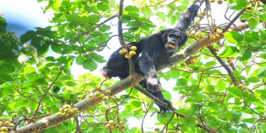 Kibale-forest-national-park-chimpanzee-tracking-&-chimpanzee-habituation.jpg