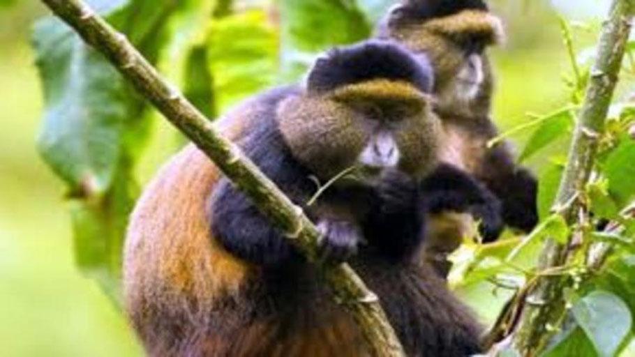 golden-monkey-tracking-uganda.jpg