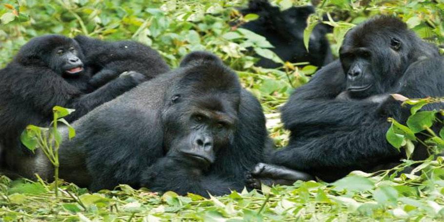Mountain-Gorilla.jpg