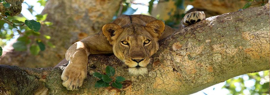 Uganda-Lion-tours.jpg