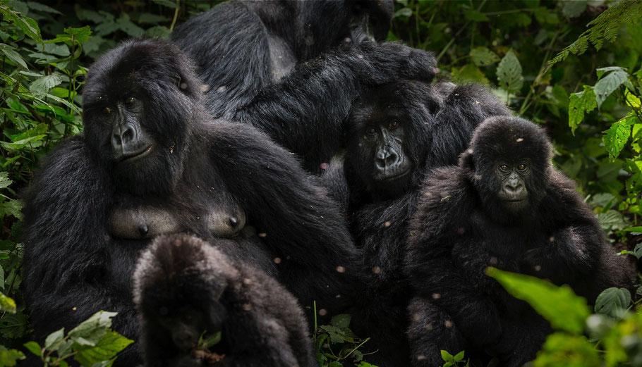 gorilla-trekking-congo-tours.jpg