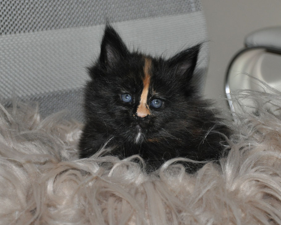 extra large maine coon kittens for sale
