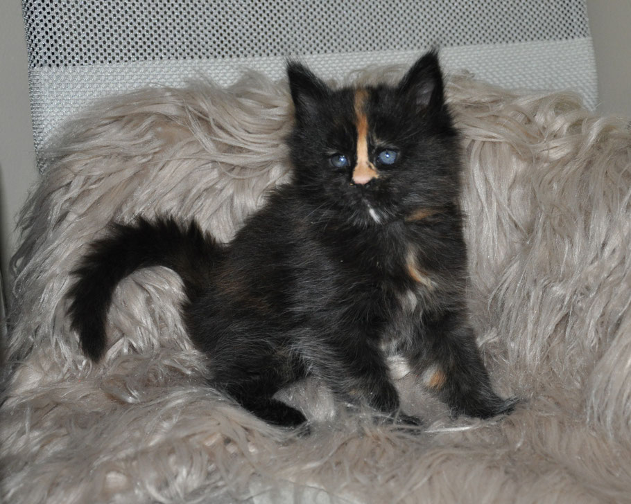 Progressive Near Me >> Cipher - extra large maine coon kittens for sale missouri - Maine Coon Kittens for sale ...