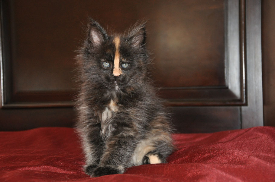 Progressive Near Me >> Cipher - extra large maine coon kittens for sale missouri ...
