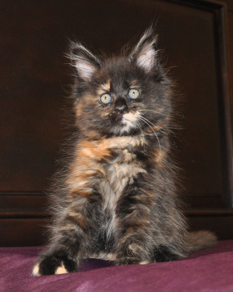 extra large maine coon kittens for sale US