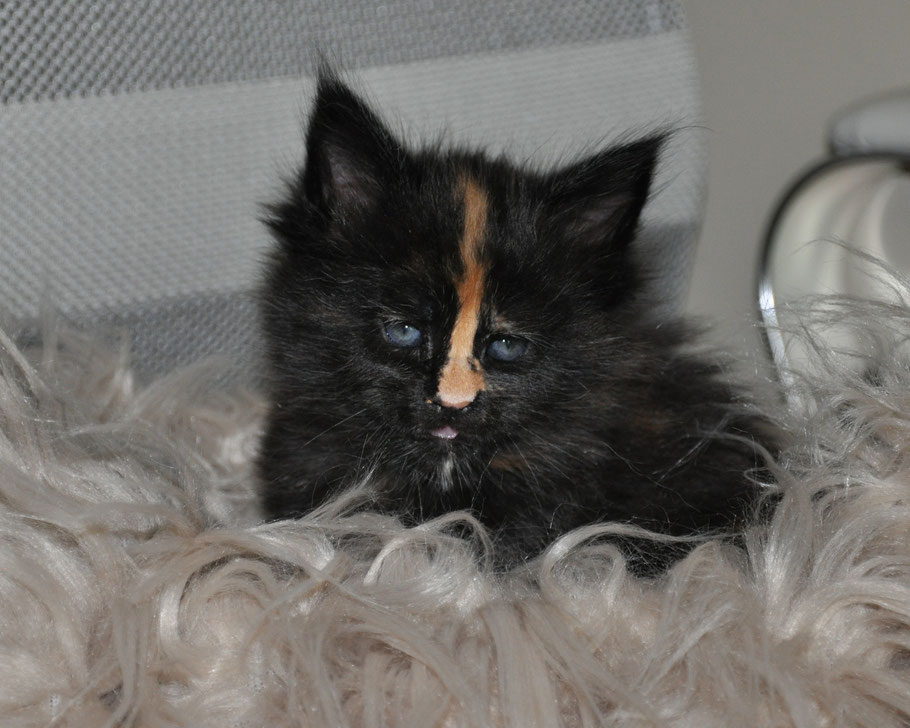 maine coon kittens for sale missouri