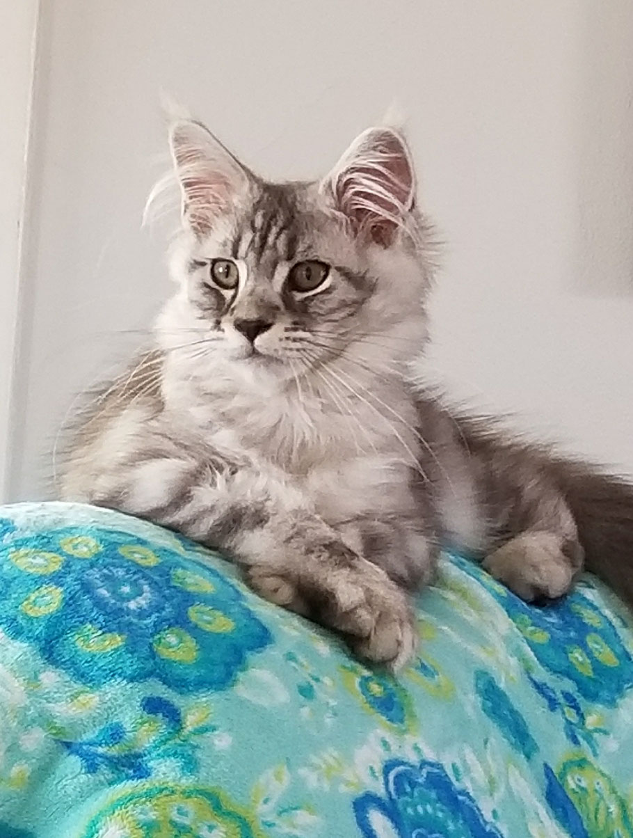 High silver classic tabby male Maine Coon kitten