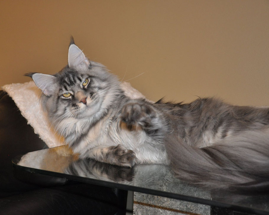 blue tiger maine coon