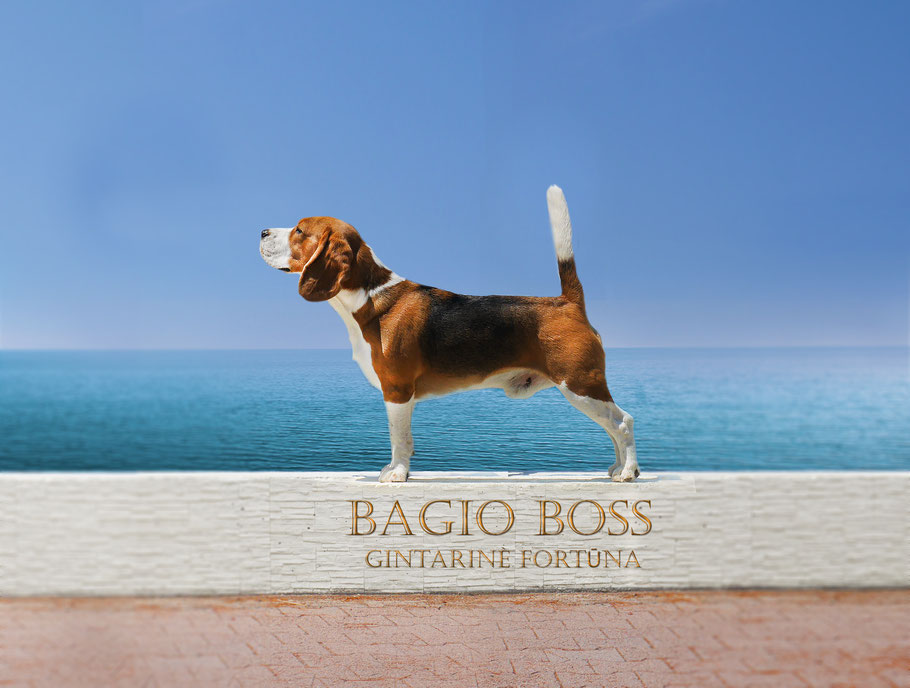 Bagio Boss Gintarine Fortuna * Lord James *, Czarnowsky , Beagle, Beagle, Beagle, Beagle, Beagle, Champions, Winner, the Best, Love, Star, King Arthur, Little King Arthur, the Best