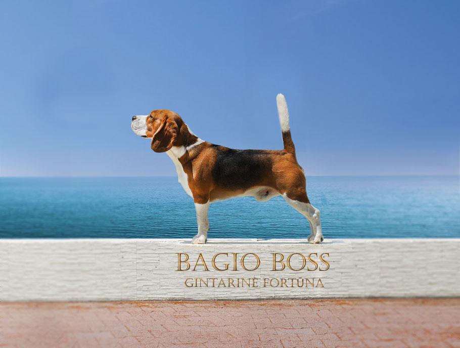 Bagio Boss Gintarine Fortuna * Lord James *, Czarnowsky , Beagle, Beagle, Beagle, Beagle, Beagle, Champions, Winner, the Best, Love, Star, King Arthur, Little King Arthur, the Best