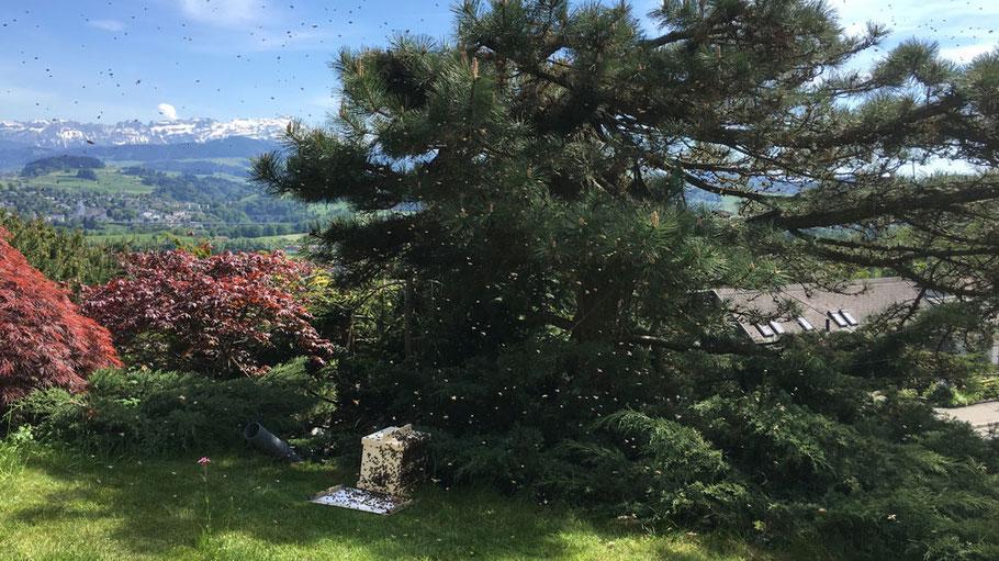 Bienenschwarm in der Schwarmkiste mit Säntisblick