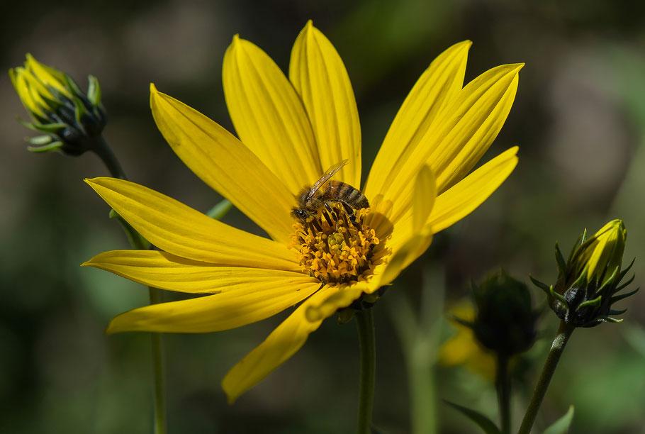 Honigbiene an Topinamburblüte