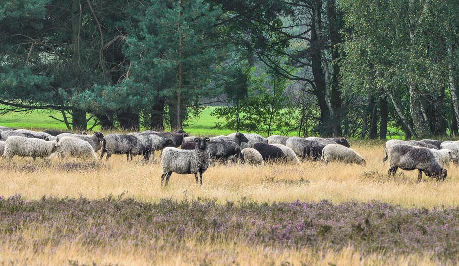 Heidschnuckenherde auf der Nemitzer Heide