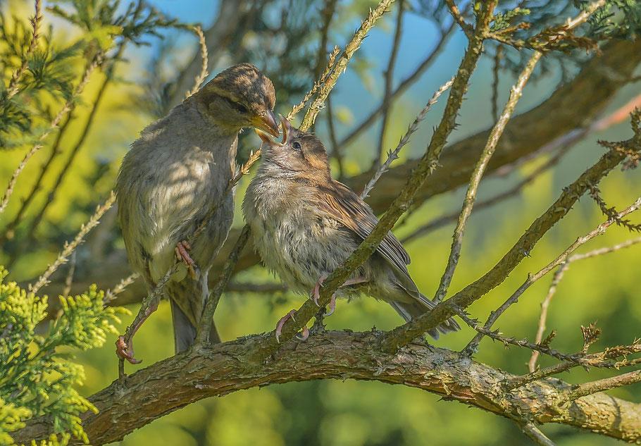 Liebevolle Sperlingsfütterung