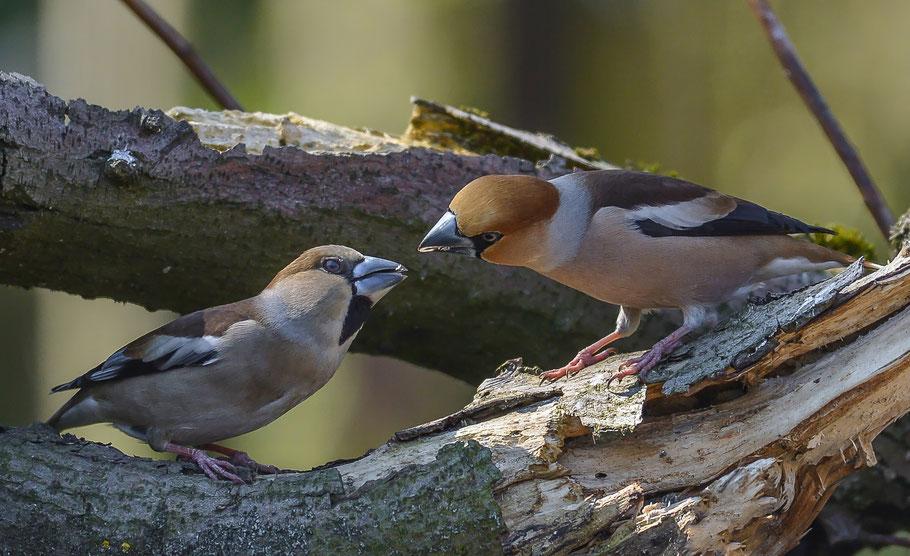 Kernbeißerpärchen, links das Weibchen, rechts das Männchen
