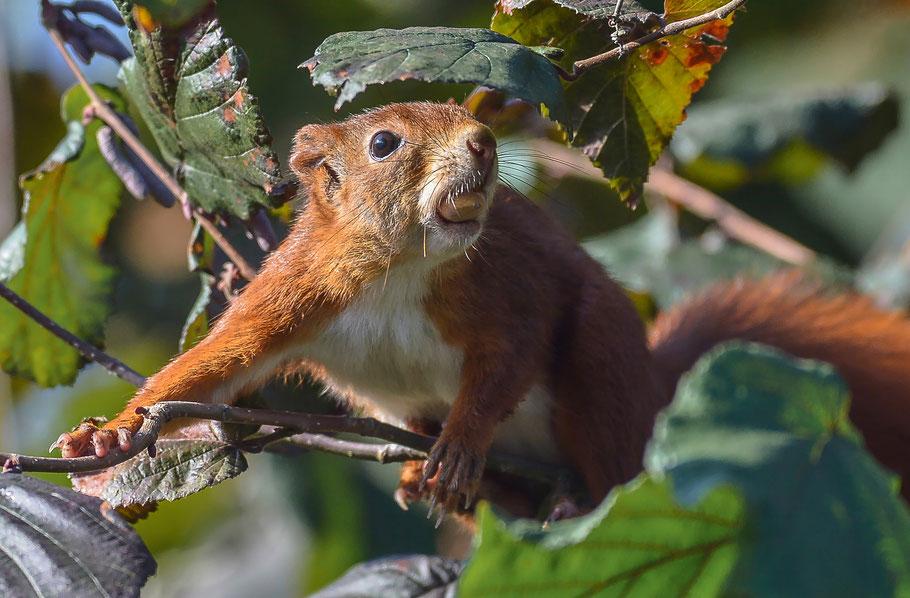 Eichhörnchen mit erbeuteter Haselnuss
