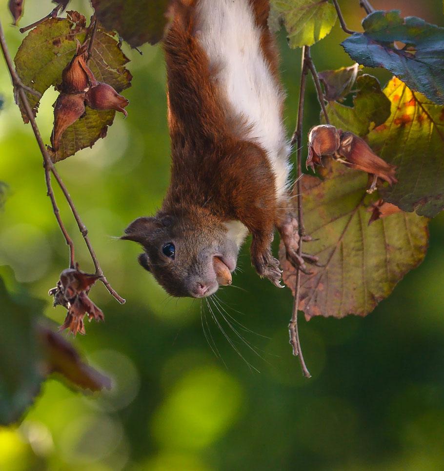 Eichhörnchen bei der artistischen Haselnussernte