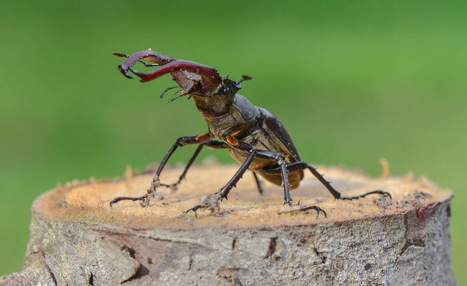 Männlicher Hirschkäfer ( Lucanus cervus )