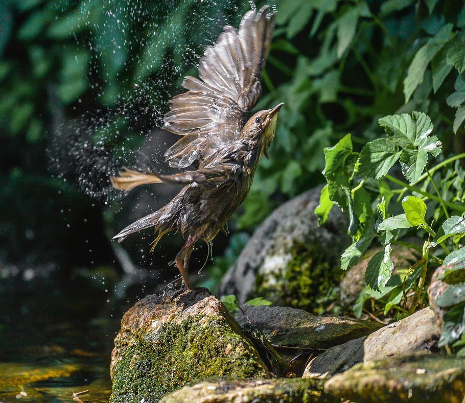 Junger Star nach dem Bade