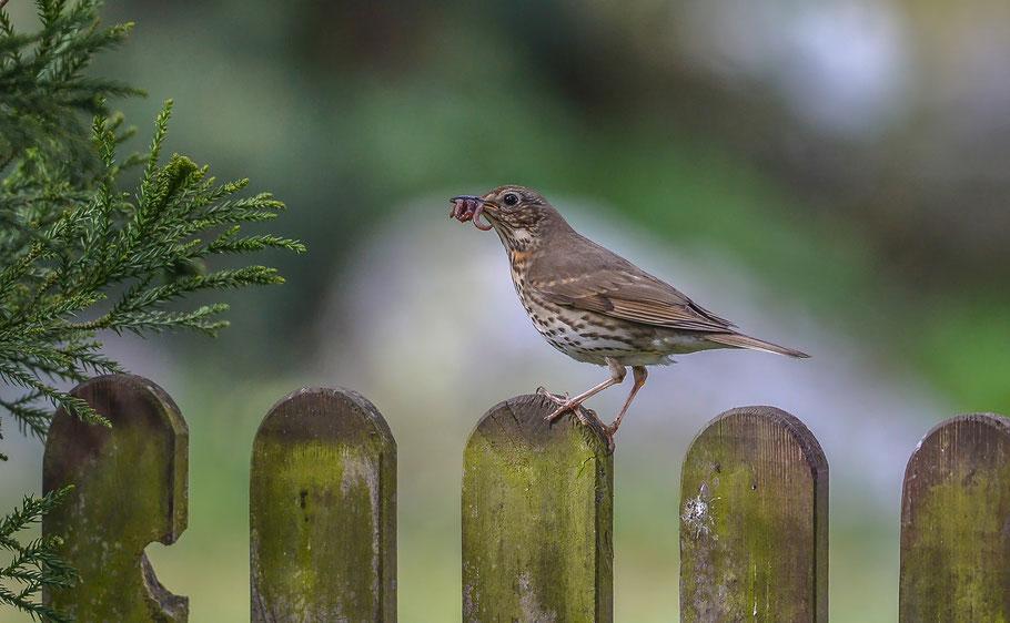 """"""" Der frühe Vogel fängt den Wurm ... """" Singdrossel"""