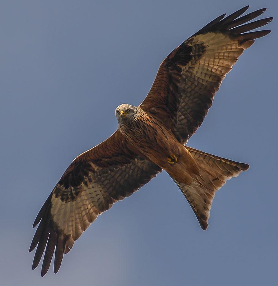 Rotmilan ( Milvus milvus )- Red Kite