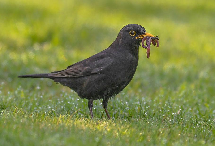 Der frühe Vogel fängt den Wurm .. ( Männliche Amsel mit Beute )
