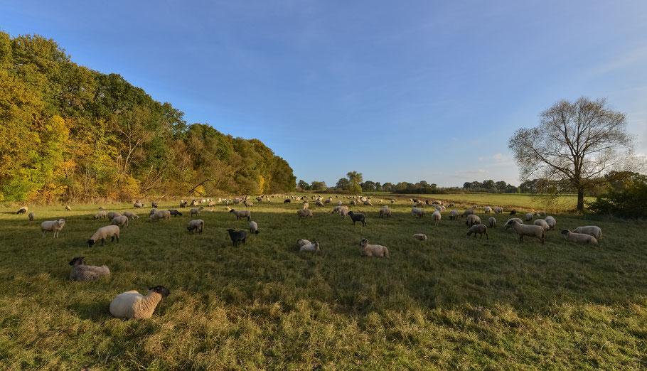 Schafherde in den Elbwiesen bei Damnatz