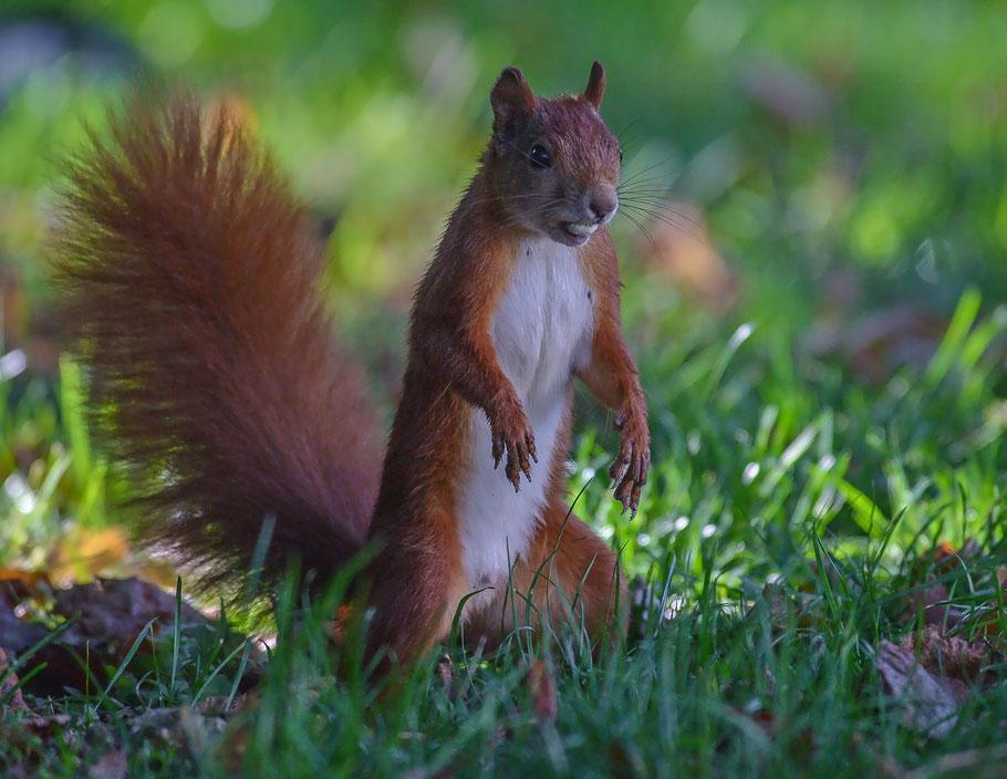 Aufmerksames Eichhörnchen mit erbeuteter Haselnuss