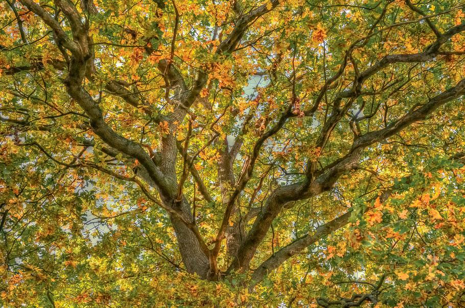 Herbstlaub an einer uralten Eiche in Jasebeck