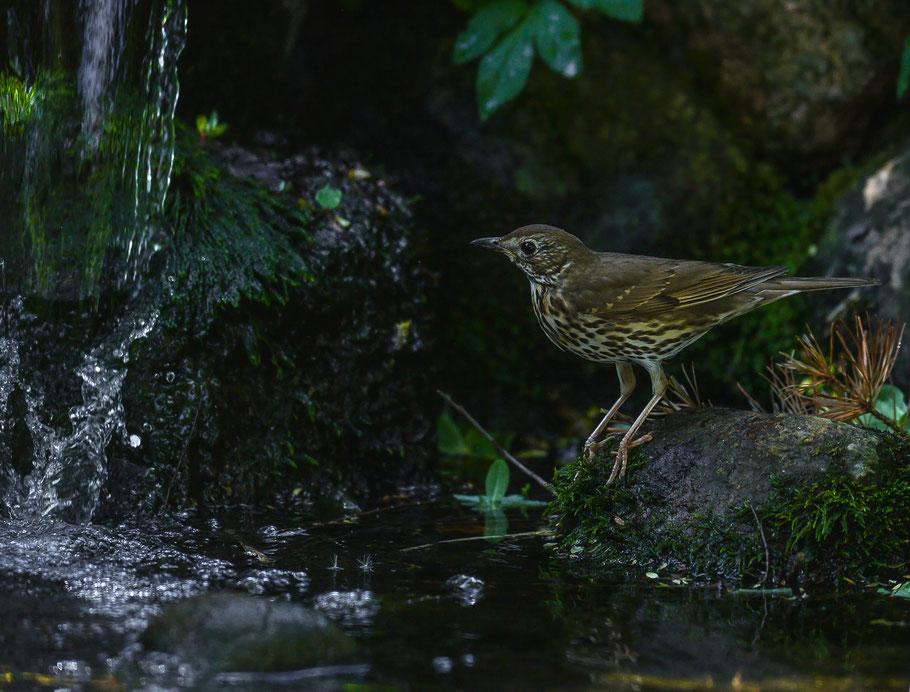 Singdrossel an einem kleinen Bachlauf in der Nähe eines Wasserfalls