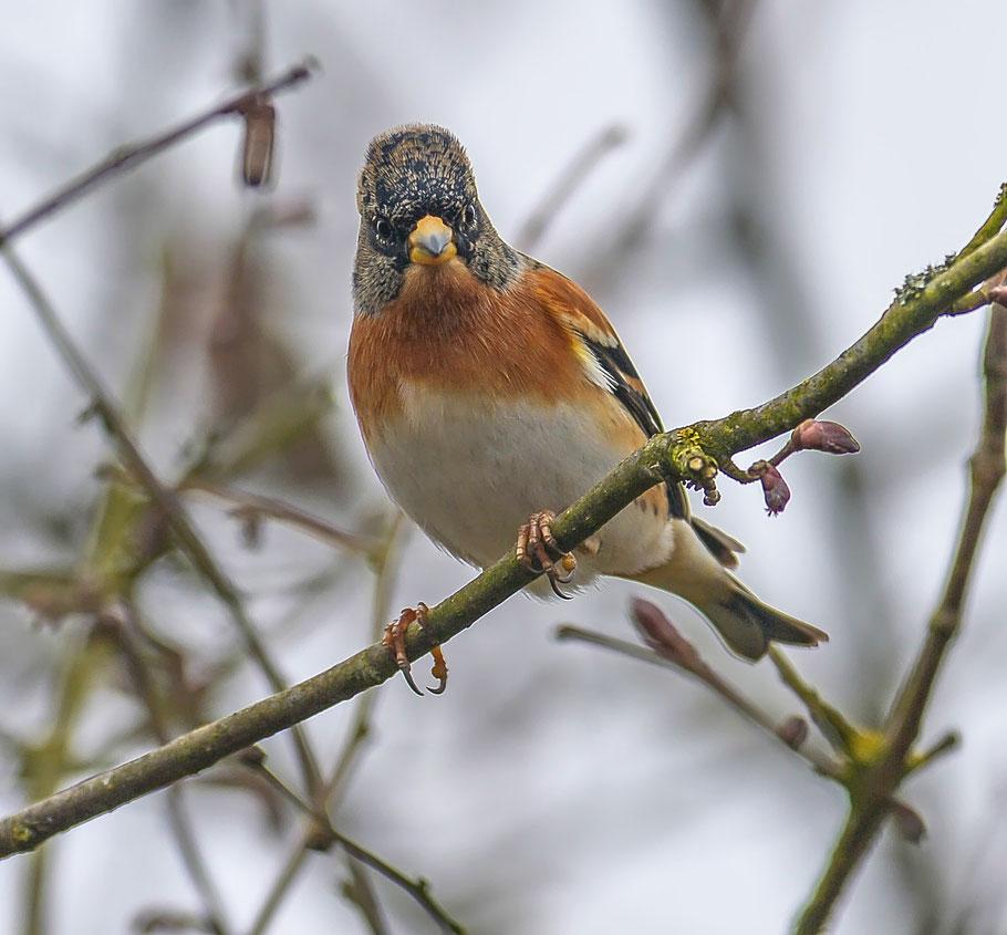 Auge in Auge mit einem männlichen Bergfinken