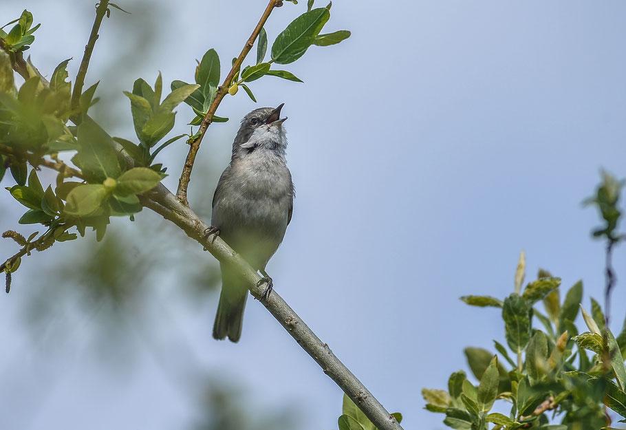 Klappergrasmücke ( Sylvia curruca ) - Lesser Whitethroat