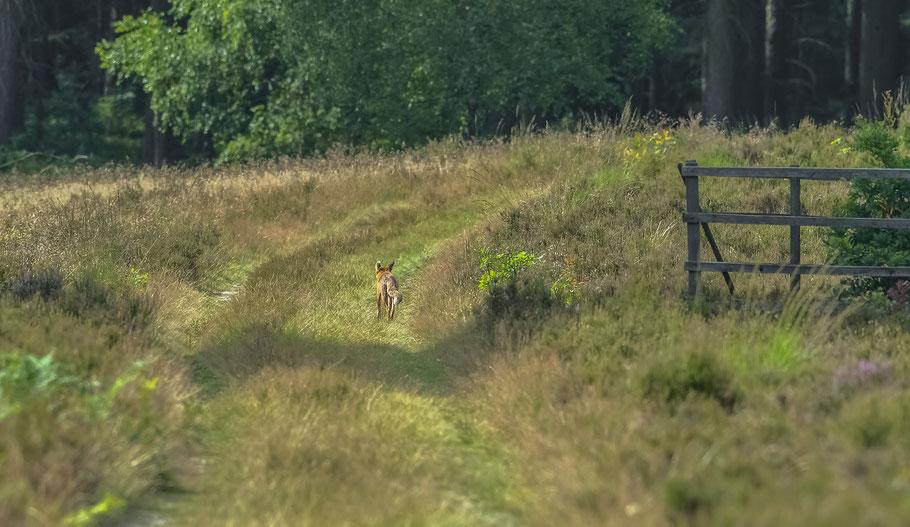 Auf den Spuren von Reineke Fuchs im Breeser Grund