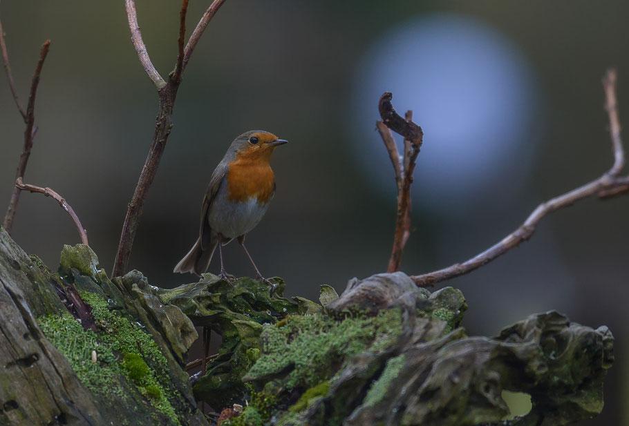 Aufmerksames Rotkehlchen im Unterholz