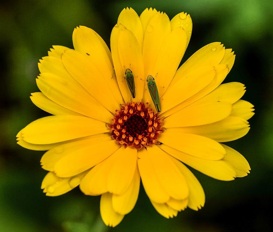 Zikaden an Ringelblume