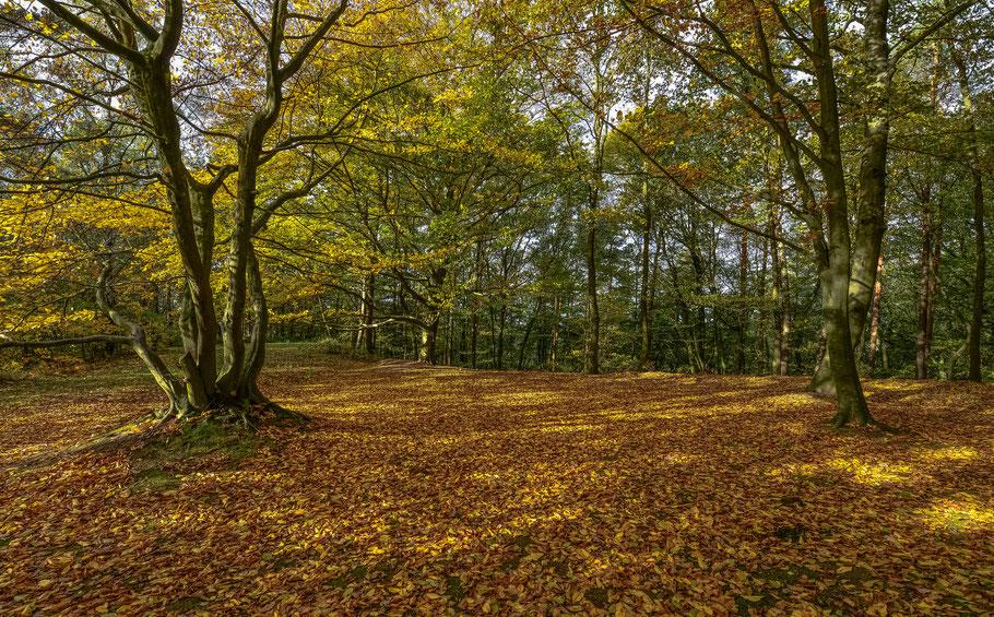 Herbstliche Lichtstimmung unter den alten Buchen am Kniepenberg
